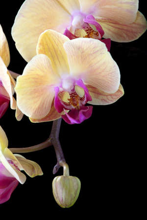 Gorgeous peach colored phalaenopsis orchid flower on black background photo