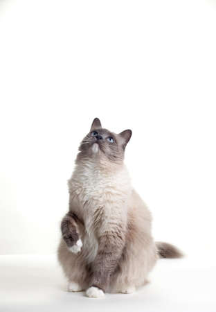 ragdoll: Curious blue colored eyes ragdoll cat over white backdrop