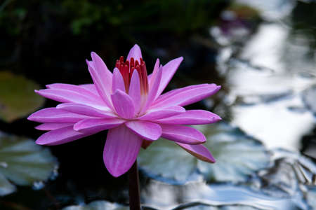 watergarden: Tropical single pink water lily in middle of remote pond