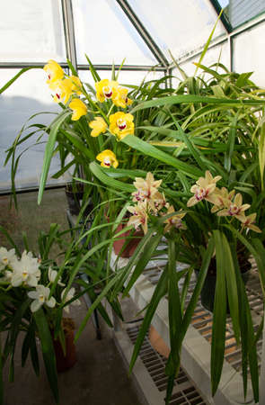 owned: Hobbist owned backyard garden greenhouse with blooming orchids plants.