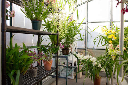 conservatory: Hobbist owned backyard garden greenhouse with blooming orchids plants.