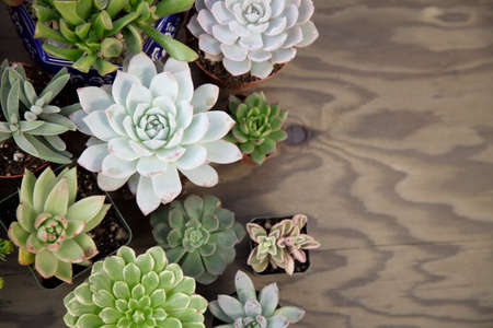 Closeup of assorted succulent plants on wooden table ready for planting in garden. Copyspace. Reklamní fotografie