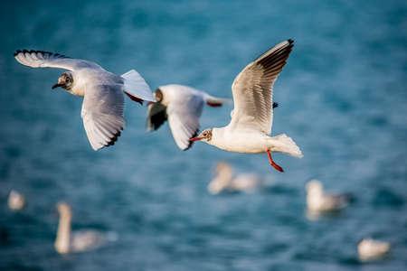 cygnet: birds swans sea gulls  water swan  sky wild