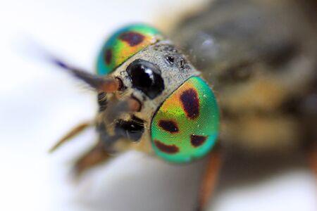 compound eye: Green eyes fly big eyes fly
