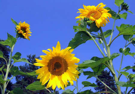 botanica: three large sunflower against blue sky close up