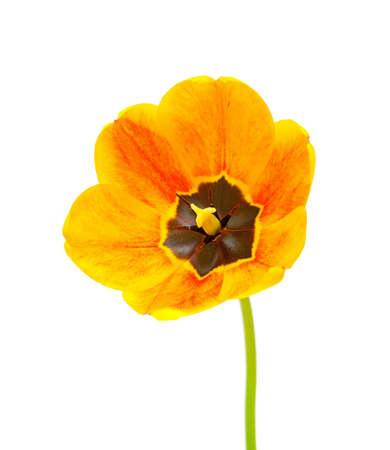 Yellow tulip isolated on white background Stock Photo - 9463471