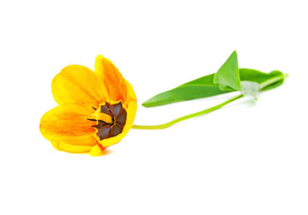tulip flower yellow-orange color is isolated on a white background close up