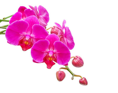 Orchid. Branch of the orchid flowers and buds of flowers on a white background.