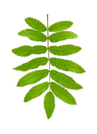sorbus: Green leaf mountain ash (Sorbus) closeup. Isolated. Stock Photo