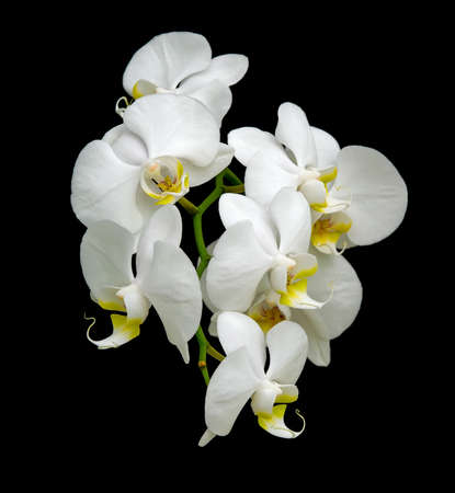 White orchid blooms. Close-up on a black background. Stock Photo