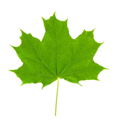 Maple leaf on white background close-ups.