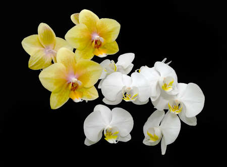 bouquet of yellow and white orchids on a black background Stock Photo