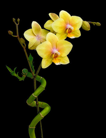 Blooming yellow orchid and bamboo on a black background photo