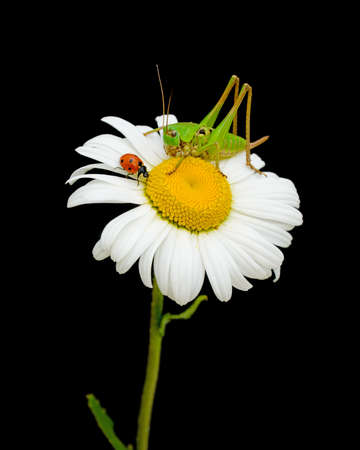 ladybug and grasshopper sitting on a flower daisies photo