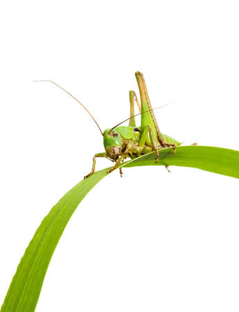 grasshopper sits on the green grass on white background photo
