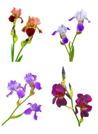 iris flowers of different colors and shapes on a white background. collage Stock Photo - 9837727