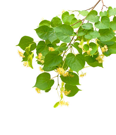 linden blossom branch isolated on white background close-up photo