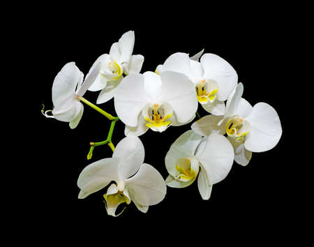 blooming white orchids on a black background