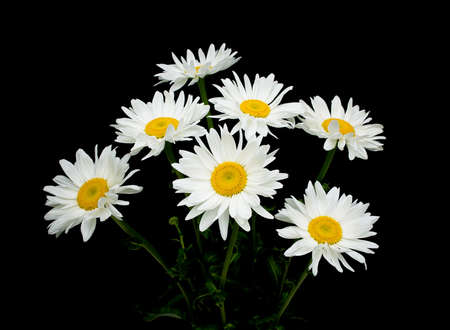 daisies: blooming chamomile on black background close-up