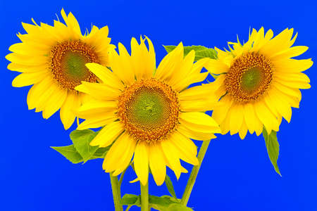 a bouquet of three sunflowers closeup on blue background Stock Photo