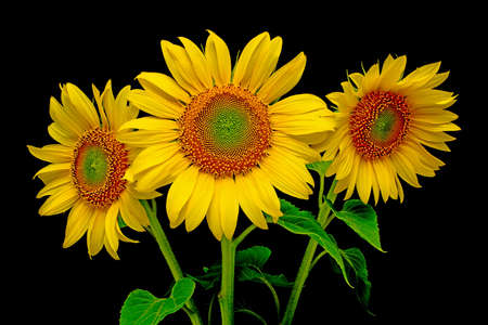 a bouquet of sunflowers from the three close-up on a black background photo