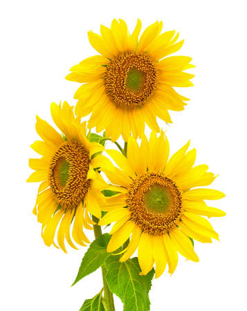 a bouquet of blooming sunflowers closeup isolated on white background