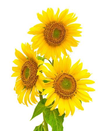 sunflower isolated: un bouquet di girasoli in fiore closeup isolato su sfondo bianco
