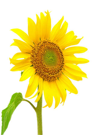 blooming sunflower closeup isolated on white background photo