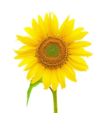 girasol: Blooming closeup girasol sobre fondo blanco. Vista frontal. Foto de archivo