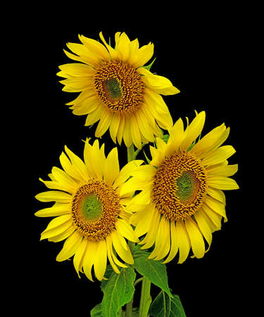 a bouquet of blooming sunflowers closeup on black background Stock Photo - 10089262