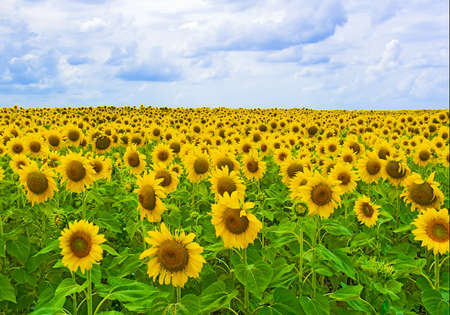 Fijne zomer zonnebloemveld in de blauwe hemel Stockfoto