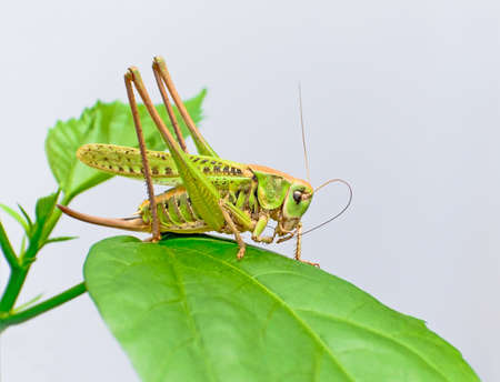 grasshopper sits on a large green leaf Stock Photo