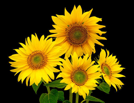 a bouquet of sunflowers blooming four on a black background photo