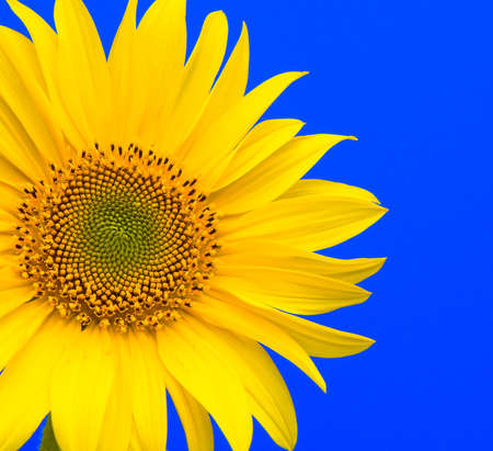 blooming sunflower closeup on blue background
