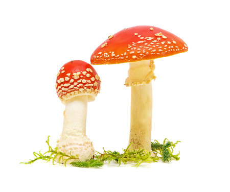 Mature Fly agaric or fly Amanita mushroom, Amanita muscaria, in front of white background