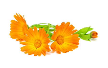 Calendula flower on a white background Stock Photo