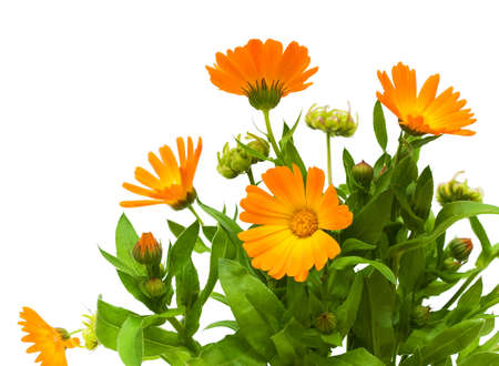 homeopatia: ramo de flores de cal�ndula primer plano sobre fondo blanco Foto de archivo