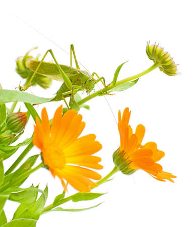 green grasshopper sitting on a flower calendula photo