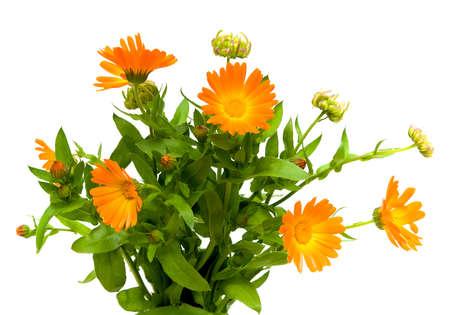 bouquet of flowers of calendula closeup on white background Stock Photo - 10732114
