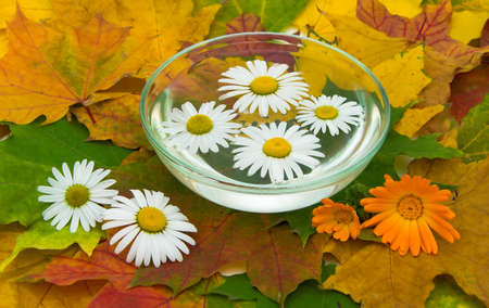 chamomile and calendula flowers to maple leaves, close-up