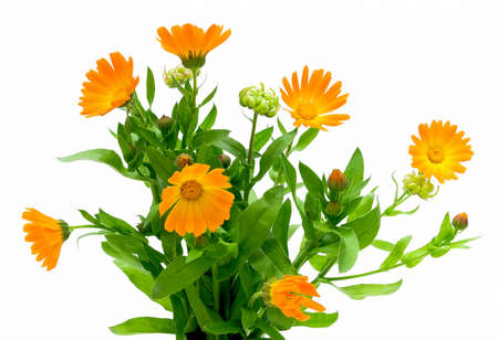 marigold flower blossoms on white background close-up Stock Photo