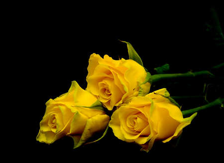 bouquet of three yellow roses on a black background closeup photo