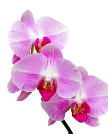Beautiful purple orchid on a branch close to a white background