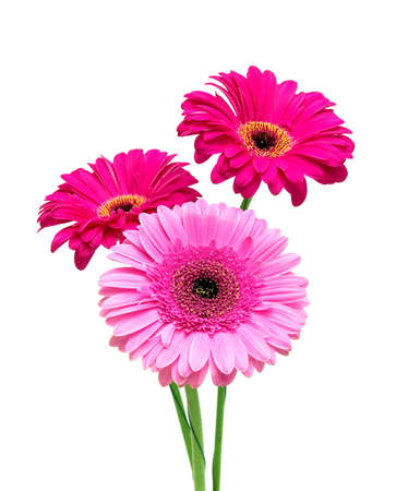 a bouquet of beautiful gerbera close-up on a white background photo