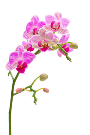 beautiful orchids blooming branch on a white background