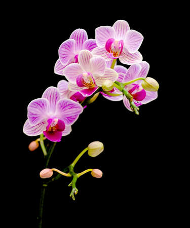 blooming pink orchid branch (Phalaenopsis) on a black background closeup
