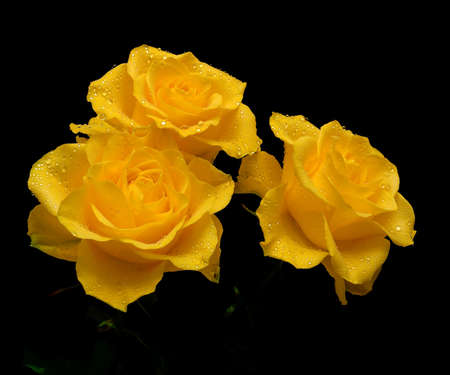 bouquet of three yellow roses in the drops of dew on a black background closeup Stock Photo
