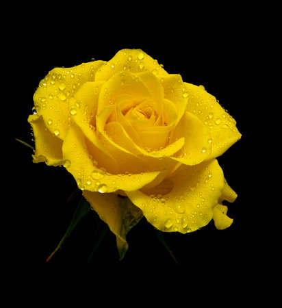 a beautiful yellow rose in drops of dew on a black background closeup