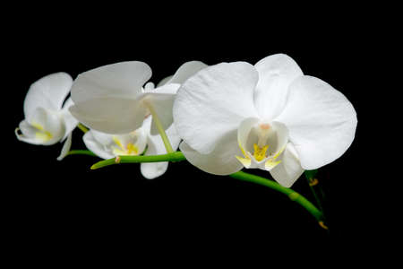 Flowering branch of white orchids on black background close up Stock Photo - 11960368