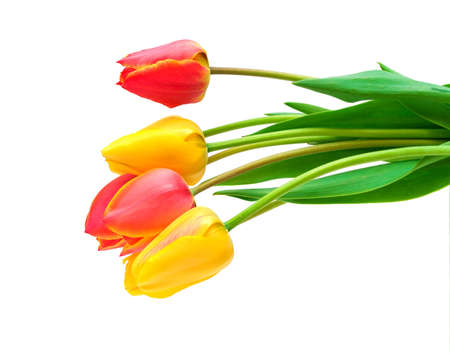 bouquet of the fresh tulips on white background photo